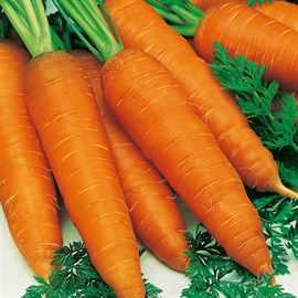 Podzimnie-posevyi-sortov-morkovi